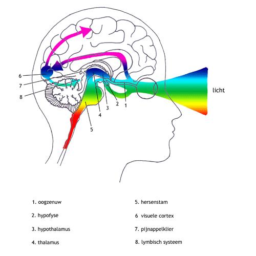 licht en hypofyse